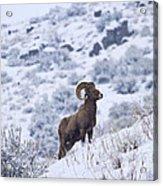 Winter Ram Acrylic Print