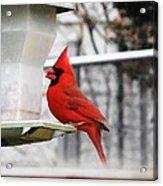 Winter Red Bird Acrylic Print