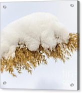 Winter Reed Under Snow Acrylic Print