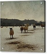 Winter Sheep Acrylic Print