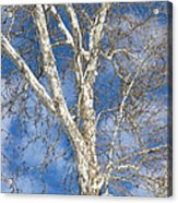 Winter Sycamore Acrylic Print