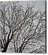 Winter Tree 6 Acrylic Print