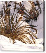 Winter Weeds Acrylic Print