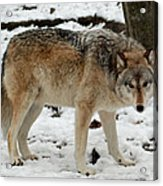 Winter Wolf In The Snow Acrylic Print