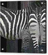 Winter Zebras Acrylic Print