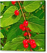 Winterberry Along Rivier Du Nord Trail In The Laurentians-qc Acrylic Print