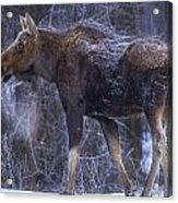 Winters Chill Acrylic Print