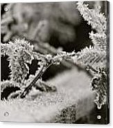 Winters Frost Acrylic Print by Karen Grist