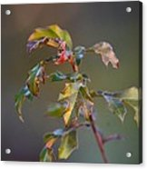 Winter's Oak Sapling Acrylic Print