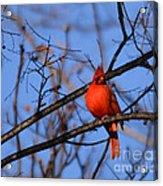 Winter's Red Beauty 5 Acrylic Print