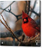 Northern Cardinal Red Beauty  Acrylic Print