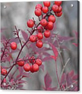 Winter's Red Acrylic Print