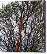 Winters Trees  Acrylic Print