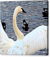 Winter's White Swan Acrylic Print