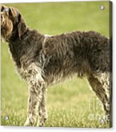 Wirehaired Pointing Griffon Acrylic Print