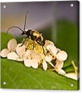 Wise Beetle Acrylic Print
