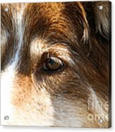 Wise Old Collie Eyes Acrylic Print