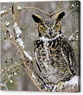 Wise Old Great Horned Owl Acrylic Print