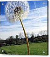 Wishes Or Weeds Acrylic Print by Andrea Dale