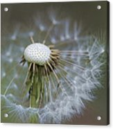 Wispy Dandelion Fluff Acrylic Print