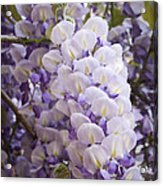 Wisteria Blooms Acrylic Print