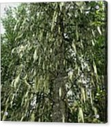 Witches Hair On Tree Acrylic Print