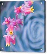 with affection - Echeveria glauca Acrylic Print