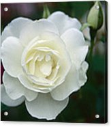 Withe Rose Acrylic Print