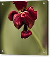 Withered Tulip Acrylic Print