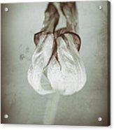 Withering Tulips 8 Acrylic Print