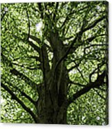 Witness Tree Acrylic Print