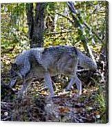 Wolf In The Woods Acrylic Print