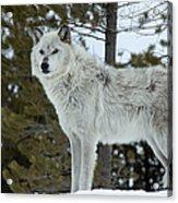 Wolf - Curiousity Acrylic Print