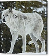 Wolf - Discovery Acrylic Print