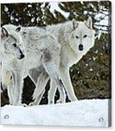 Wolf - Friend Acrylic Print