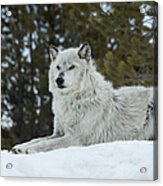 Wolf - Resting Acrylic Print