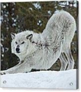 Wolf - Yoga Acrylic Print