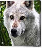 Wolf Alpha Male Acrylic Print