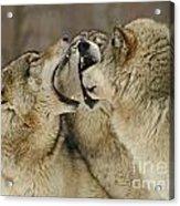 Wolf Display Acrylic Print