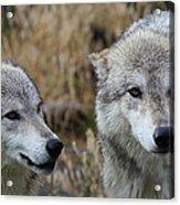 Wolf Glare II Acrylic Print