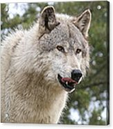 Wolf Hungry For Dinner. Acrylic Print