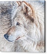 Wolf In Disguise Acrylic Print