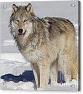 Wolf In Snow Acrylic Print