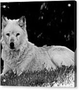 Wolf In The Zoo Acrylic Print by Victoria Sheldon
