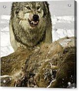 Wolf Protecting Kill Acrylic Print