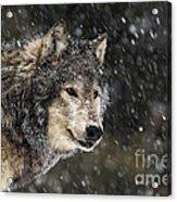 Wolf - Snow Storm Acrylic Print