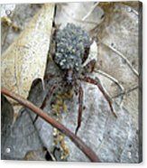 Wolf Spider And Spiderlings Acrylic Print