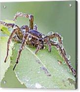 Wolf Spider In Dew  Acrylic Print