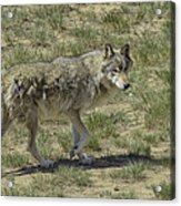 Wolf Acrylic Print by Tom Wilbert