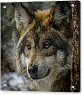 Wolf Upclose 2 Acrylic Print
